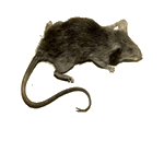 Common Pests Elk Grove / Animal Removal Sacramento. Rats